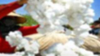 Gobierno anuncia que no habrá subsidios para el algodón