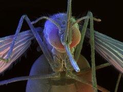 Esterilizar a los mosquitos evita la propalación de la malaria