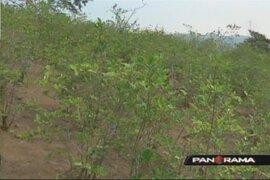 Se reinicia erradicación del cultivo ilegal de la hoja de coca en Tingo María