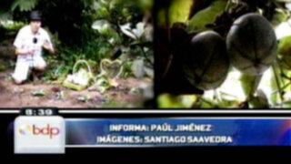 Callahuanca: La tierra de las mejores Chirimoyas del Perú