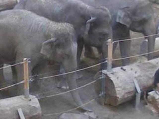 Alemania: una manada de elefantes se despide de una cría fallecida