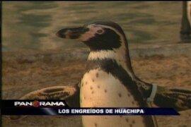 Los engreídos de Huachipa