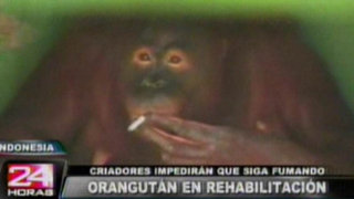 Indonesia: orangutana ingresa a rehabilitación por problemas con el cigarro