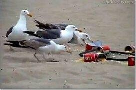 Gaviotas provocan caos en playa tras ser alimentados con laxantes