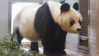 Falleció Bao Bao, el último oso panda de Berlín