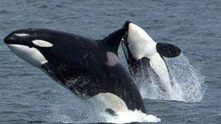 Ballenas francas Julia y Augusta llegan a costas peruanas