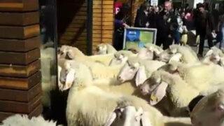 Ovejas invaden una exclusiva tienda de ropa deportiva en Austria