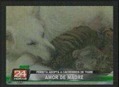 Perrita adopta a cachorros de tigre en zoológico