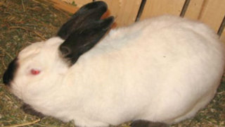 Italia: tribunal condena a profesor por matar conejos en clase