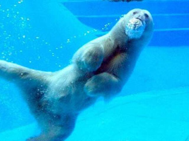 Fuerte calor mató a oso polar del zoológico de Buenos Aires
