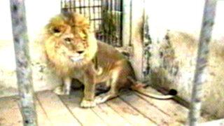 Veterinarios huancaínos realizaron operación a león enfermo