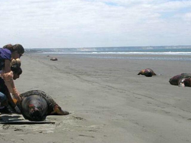 Produce: lobos marinos varados en Lambayeque fueron envenenados