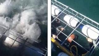 Sudáfrica: tiburón blanco rompe su jaula y ataca a pareja de recién casados