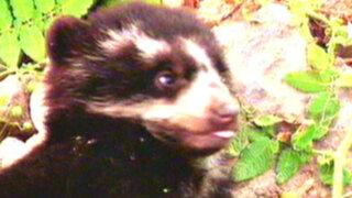 Chaparrí, tierra de osos: el último paraíso natural para esta especie peruana