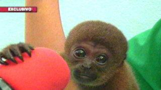 Vida de monos: el drama de sobrevivir al tráfico de especies