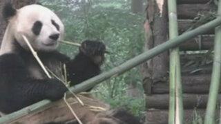 China: imágenes captan a Panda que entra en pánico durante terremoto