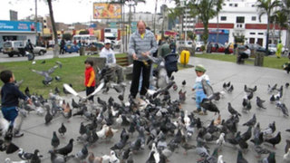 Proliferación de palomas en Lima sigue siendo un peligro para la salud