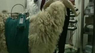 China: cabra se mantiene con vida gracias a corazón artificial