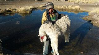 Puno: campaña contra intenso frío busca reducir muerte en animales