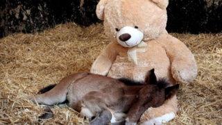 Reino Unido: Potrillo huérfano adopta a oso de peluche como su madre