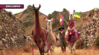 Las engreídas del Colca: el encanto de las llamas en las alturas del Perú