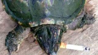 China: una tortuga adicta al tabaco fuma 10 cigarrillos al día