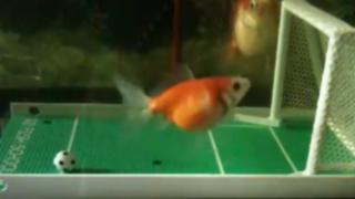 Entrenan a pez dorado para jugar fútbol y anotar goles en su pecera