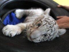 Agarra con garra: la primera tigresa albina nacida en el Perú