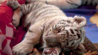 Animales nacidos en cautiverio son atractivos del zoológico de Huachipa