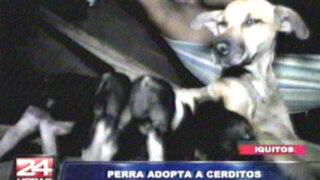 VIDEO: Perrita adopta a cuatro cerditos y los amamanta en Iquitos