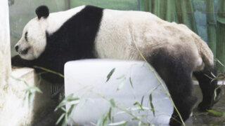 China: intenso calor obliga a un oso panda a dormir sobre un cubo de hielo