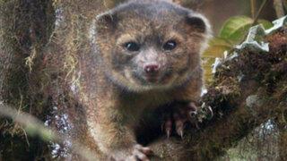 Científicos descubren un nuevo mamífero carnívoro en Ecuador y Colombia