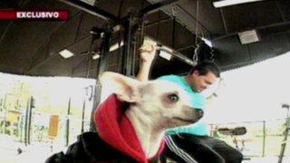 ¡Ay, chihuahua!: una pequeña mascota mexicana conquista el mundo