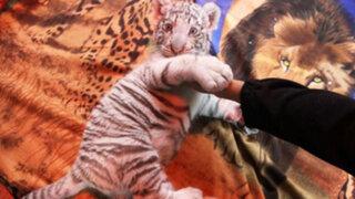 Huachipa: primera tigresa blanca nacida en Perú fue bautizada como Civa Sumac