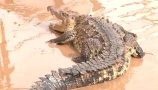 VIDEO: logran capturar a cocodrilo que se escapó tras inundaciones en México