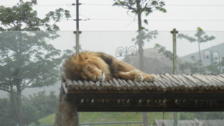 Ferocidad y ternura: felinos son principales atractivos del Zoológico de Huachipa