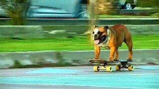 Biuf, el perro skater que lucha por plasmar su nombre en el libro de récords Guiness