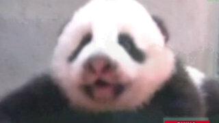 China: un cachorro de panda gigante practica cómo gatear en el zoológico de Taipei