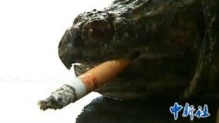 Una tortuga mordedora se fuma hasta 10 cigarros al día en China