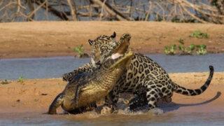 Video de jaguar atacando a cocodrilo supera 21 millones de visitas en YouTube
