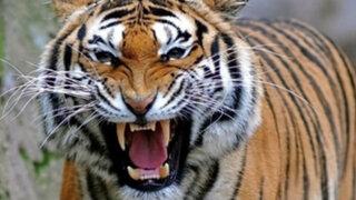 EEUU: tigre le arrancó el brazo a la trabajadora de un zoológico