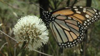 Mariposa que convivió con dinosaurios se encuentra en peligro de extinción