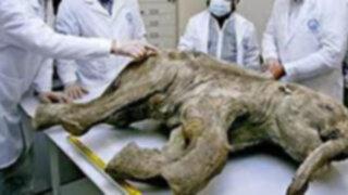 Siberia: hallan mamut de 39 mil años en perfecto estado de conservación