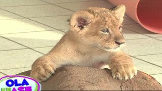 Conozca a la nueva engreída del zoológico de Huachipa, una tierna leoncita