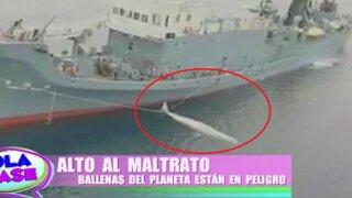 'Alto al Maltrato' y a la caza de animales: ballenas están el peligro de extinción
