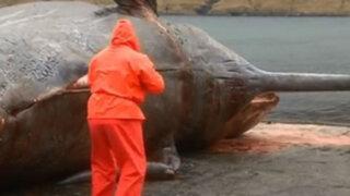 VIDEO: enorme ballena muerta explota cuando era examinada por un biólogo