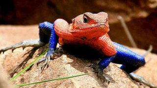África: lagarto asombró al mundo por su gran parecido a Spiderman