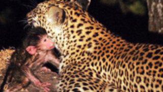 """VIDEO: """"conmovido"""" leopardo  adopta a monito tras matar a su madre"""