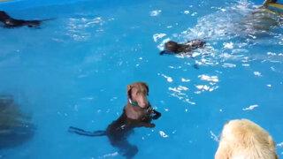 ¿Todos los perros son excelentes nadadores? Este video demuestra que no