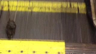 VIDEO: una rata y su titánica tarea para salir de una escalera eléctrica